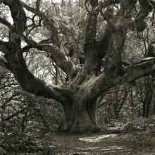 Threatened Oak