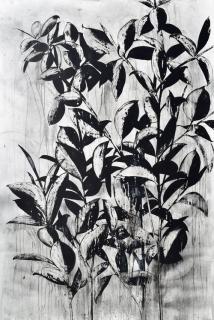 Rubber Tree Plant